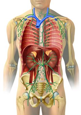 Lymphknoten und -bahnen